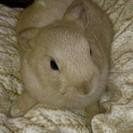 ミニウサギの里親を募集してます。