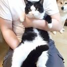 保護中の八割れ猫の里親募集