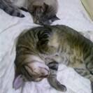 去勢済、仲の良い猫2匹の里親募集。大事にしてくれる方。完全室内飼い...