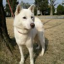 紀州犬 オス 5歳3か月 賢い仔です