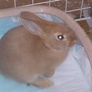 ミニウサギの里親さんを募集しています。