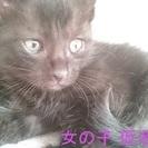 黒猫子猫オス、メス、生後一ヶ月~二ヶ月位