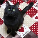 ぽっちゃりシルエットにおっとりした性格の甘えた黒猫くん。