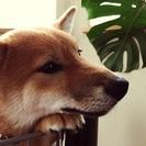 柴犬オス2014年10月25日生まれ