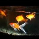 金魚の赤ちゃん