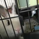 8ヶ月のミニウサギ(白)