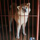 秋田犬の女の子 血統書付き