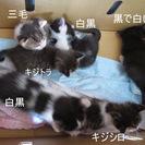 1ヶ月の子猫 あと4匹 里親募集しています
