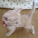 優しい里親さんが見つかりました!薄い茶色の子猫