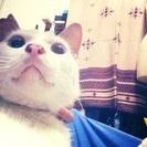 穏やかで優しい真っ白な幸運を呼ぶ美猫ホワくん