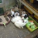 (無償)かわいい子ウサギちゃんを貰ってやってください(無償)