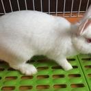 ミニウサギ(性別は不明です)