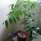 虫除け? 🐛【観葉植物 】🌿 ミラクルニーム8号鉢 全高120cm...