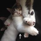 緊急募集/10ヶ月オス猫の里親さんを探しています。