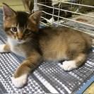 生後二ヶ月の子猫です