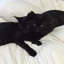 里親さん募集中です。仲良しの黒猫兄弟です。武蔵と小次郎です。