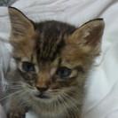 1か月のとても可愛い赤ちゃん猫貰ってニャン