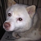 推定4〜5歳の白い豆柴系のオス!里親募集!センターからのレスキュー犬。