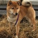 柴犬 メス 1歳5ケ月