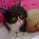 可愛いラクドールMixの赤ちゃん猫貰ってニャン