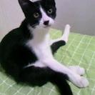 元気いっぱいハチワレ子猫