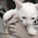オッドアイを含む6匹の子猫の里親さん募集!2015・9・14生まれです。