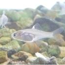 タイリクバラタナゴ稚魚