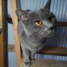 ロシアンブルー風の保護猫さん【ΦωΦ】