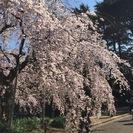 【募集終了】3/30(水)『桜を描く』新宿御苑スケッチ