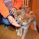 昨年の12月26日に生まれました柴犬の仔犬の里親募集!