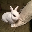 ミニウサギ・2歳♂