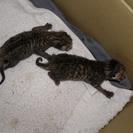 至急です。生後3日目の子猫2匹保護しています。お助けください。