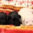 子犬の赤ちゃん3匹生まれました! 里親を募集します。