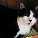 小柄なぶち猫 小さな瞳がチャームポイント4才