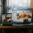 大きくなった金魚、もらってください