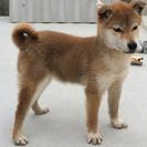 極小  柴犬  メス6カ月