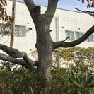 無料にて広葉樹の《倒木・伐採木回収...