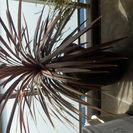 ベランダ 植物 コルジリネ 大型 鉢