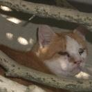 耳カット 迷い猫 茶白  奈良市帝塚山住宅付近です。