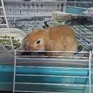 ロップイヤーのウサギの里親募集しています。