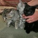 生後2ヶ月の子猫3匹(トラ2匹♂♀と黒1匹♀)一生愛してあげてください!