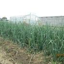 野菜畑のくさむしり