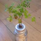 観葉植物 水耕栽培 セラハイト ガラスの小瓶 ステレオスペルマム