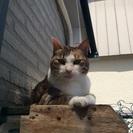 「ナナ」甘えん坊の美猫三毛 8歳半です