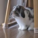 生後約6か月のウサギちゃん、里親募集です!