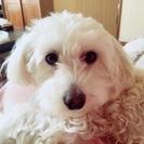 マルチーズ×トイプードルのミックス犬