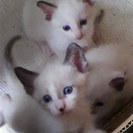 生後5週目の子猫一匹と母猫を一緒に育てて頂ける方