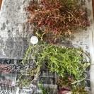 ロタラなど水草