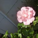 薔薇・苗木【残り1ポット】