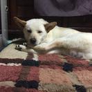 紀州犬mix 2歳オス 引取りに来て頂ける方募集
